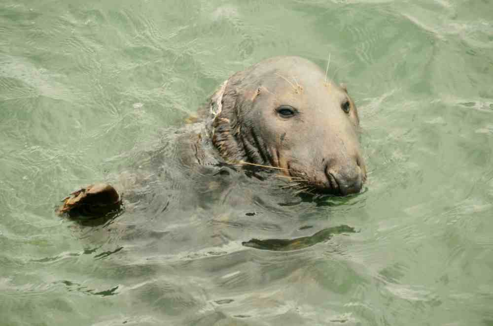greyseal-howth-30july2016-mbred