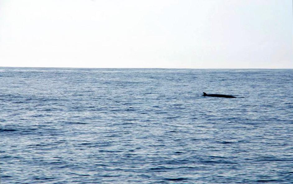 minkie whale