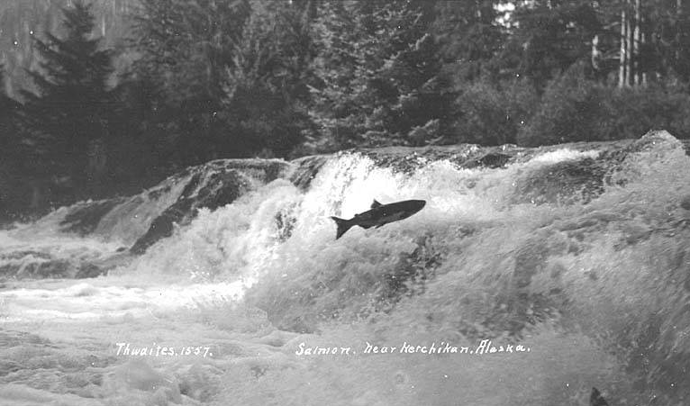 Salmon_jumping_upstream,_near_Ketchikan,_ca_1912_(THWAITES_206)