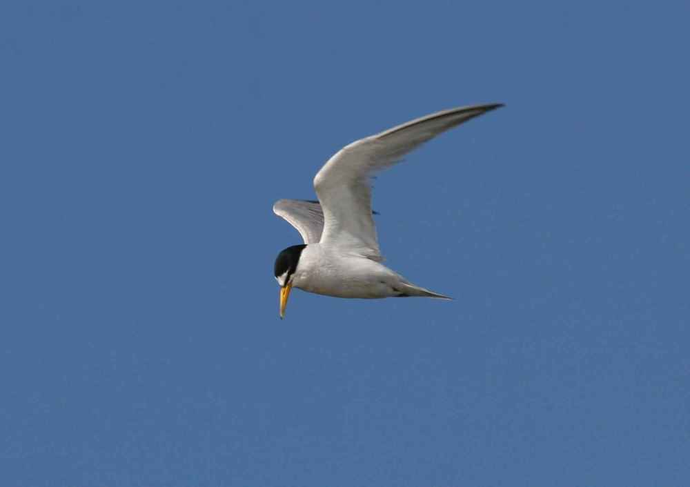 sterna-antillarum-browni-california-least-tern-bird