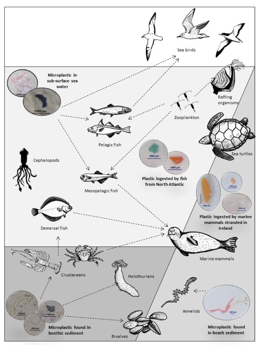 LusherA-2015-Microplastics in the marine environment distribution interactions and effects-In Marine anthropogenic litter-Springer